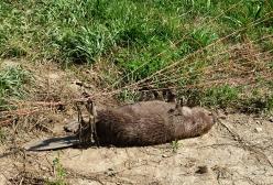 Ein toter Biber in einem Weidezaun.jpg